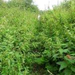 August 2011 An overgrown footpath